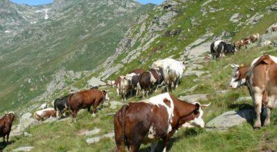 FIDA PASCOLO ANNO 2021 – Assegnazione dei terreni montani per uso civico di pascolo